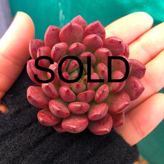 多肉植物 韓国苗 エケベリア Echeveria Pink Rubby(その他)