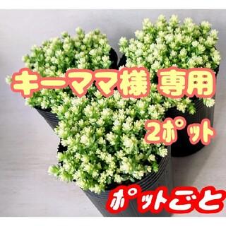 【ポットごと】アクレアウレウム×2 多肉植物 セダム 紅葉 プレステラ プラ鉢(その他)