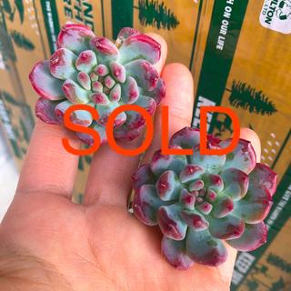 多肉植物 韓国苗 エケベリア Echeveria Blue Elf(その他)