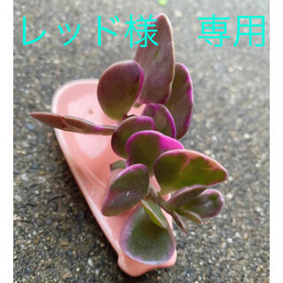 レッド様 専用★ヤコブゼニー錦★カット苗★斑入り★多肉植物(その他)