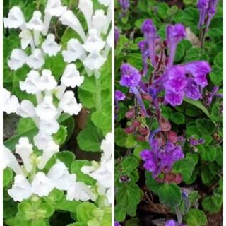 花種タツナミソウ2色セット(その他)