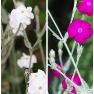 花種リクニスコロナリアローズ×ホワイト(その他)
