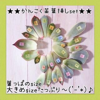 葉っぱのsize大きめたっぷり★多肉植物葉挿しセット(その他)