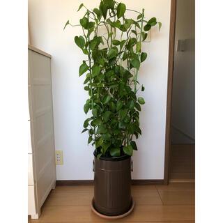 大型 室内 観葉植物 ポトス(その他)