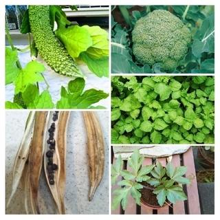 野菜種5種類セット&ジニア&とうがらし&マリーゴールドひとみっち様専用ページ(野菜)
