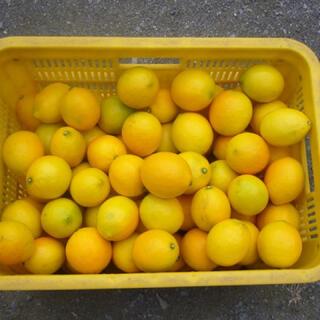 国産レモン 話題のマイヤーレモン5kg 38個位 訳あり(フルーツ)