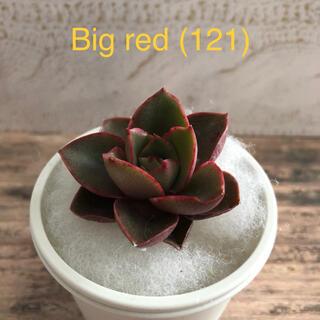 多肉植物 韓国苗 Big red (121)(その他)