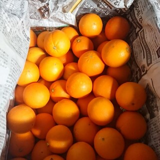 ネーブルオレンジ 和歌山県産(フルーツ)