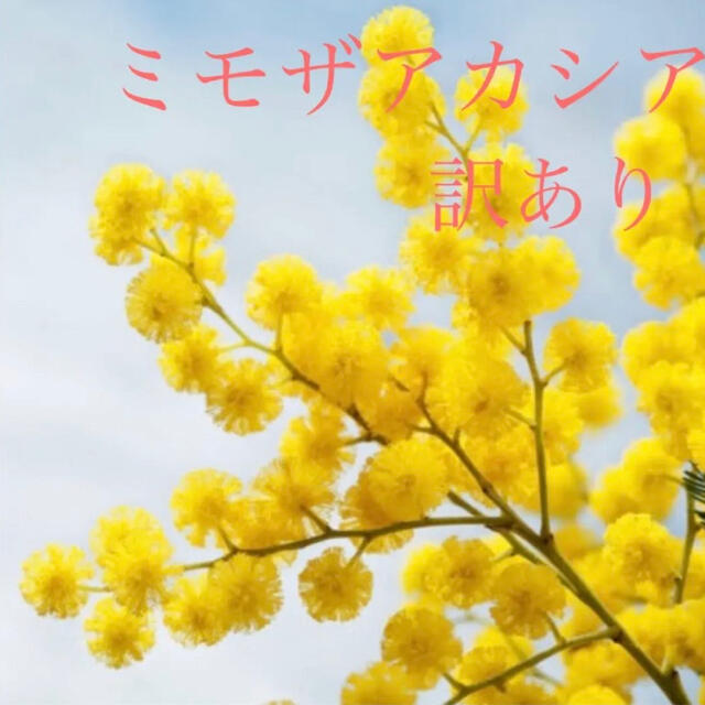 ミモザ♡苗♡訳あり♡ ハンドメイドのフラワー/ガーデン(ドライフラワー)の商品写真