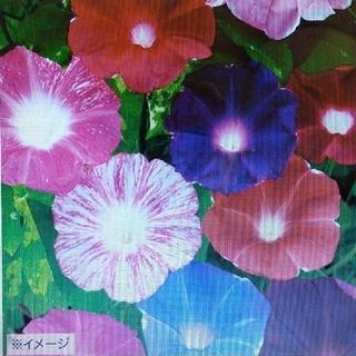 花の種       朝顔大輪咲き7品種ミックス   30粒+アスター八重咲き(その他)