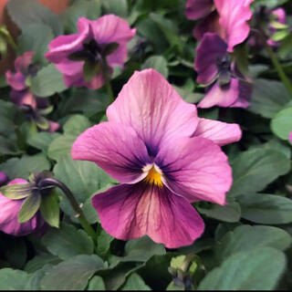 【大人気♡春まで咲きます♡】◆しんしん◆アンティークカラービオラ◆2苗セット(その他)