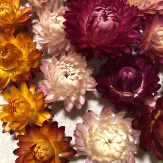 ドライフラワー 花材 ヘリクリサム貝細工30個(ドライフラワー)