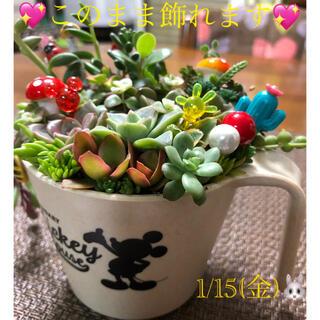 多肉植物❤︎寄せ植え❤︎このまま飾れます❤︎ミッキーベージュ鉢♪(その他)
