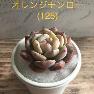 多肉植物 韓国苗 オレンジモンロー (125)(その他)