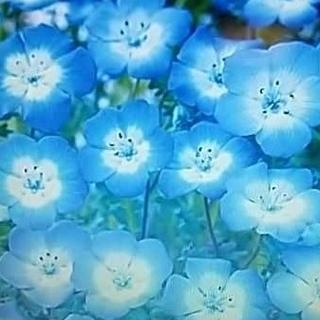 花の種     ネモフィラインシグニスブルー+おまけ付き(その他)