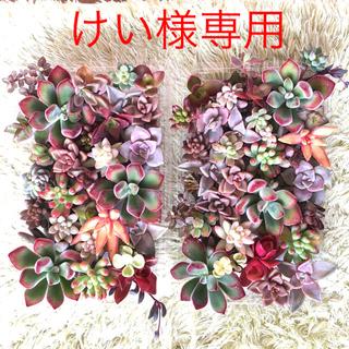 けい様専用 赤系カット苗 ¥3500(その他)