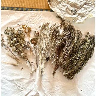 ドライフラワー 花材 ユーカリ 三角葉 まとめ売り 大量(ドライフラワー)