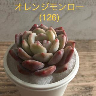 多肉植物 韓国苗 オレンジモンロー (126)(その他)