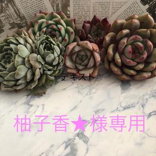 多肉植物 韓国苗 オレンジモンロー (124)(その他)
