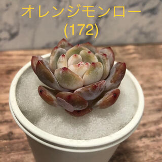 多肉植物 韓国苗 オレンジモンロー (172)(その他)