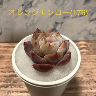多肉植物 韓国苗 オレンジモンロー (176)(その他)