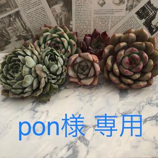 多肉植物 韓国苗 オレンジモンロー (175)(その他)
