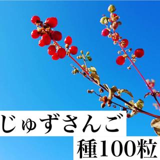 ニトリ(ニトリ)の種 ジュズサンゴ 数珠サンゴ じゅずさんご 植物 赤 ハトローズ ドライフラワー(その他)