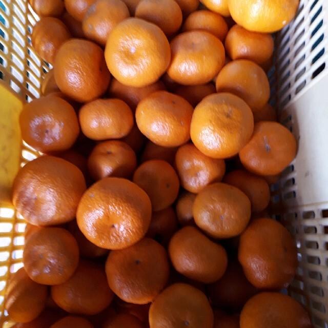 蒲郡みかん 5kg 送料無料 青島みかん 訳あり 食品/飲料/酒の食品(フルーツ)の商品写真