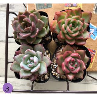 3.あずき様専用ページ❣️韓国多肉植物❣️(その他)