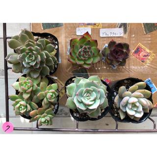 7.ぴすけ様専用ページ❣️韓国多肉植物❣️(その他)