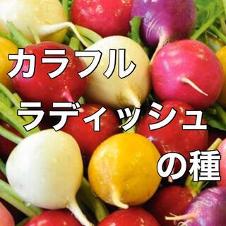 【彩り鮮やか‼️】カラフルラディッシュの種 20粒 野菜 だいこん 大根 種(野菜)