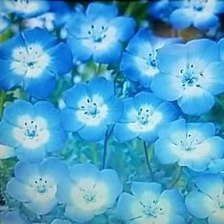 花の種      ネモフィラ インシグニスブルー+おまけ付き(その他)