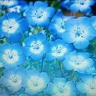 花の種      ネモフィラの種200粒  + おまけ50粒(その他)