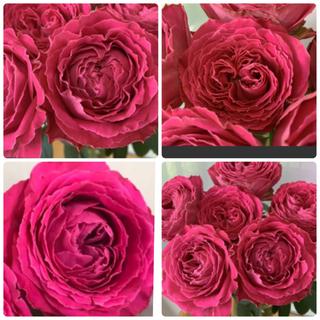 ✽⋆*.⋆* ピンク カップ咲き 花弁の多いバラ ✽⋆*.⋆* バラ苗(その他)