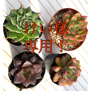 多肉植物 得得4種セット❣️寒さに強い品種!(その他)