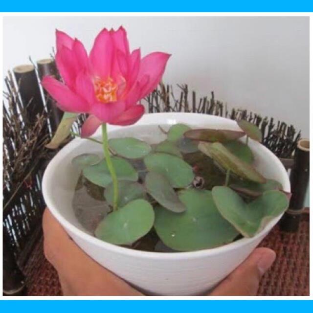 手乗り(茶碗)蓮の種5色5粒 ハンドメイドのフラワー/ガーデン(その他)の商品写真