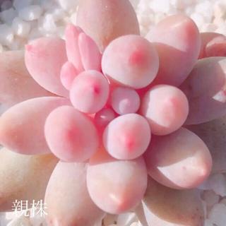 多肉植物 韓国苗 ベビーフィンガー 葉挿し 1枚