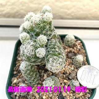 値下げ‼️多肉植物 サボテン マミラリア 銀手毬17(その他)