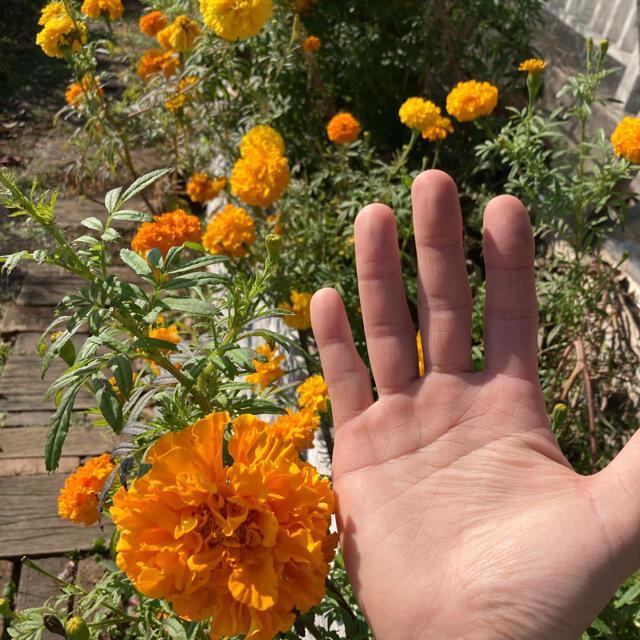 アフリカンマリーゴールド 600粒  ハンドメイドのフラワー/ガーデン(プランター)の商品写真