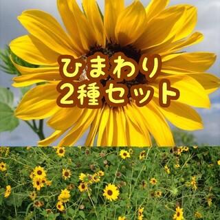 【ひまわり2種類♫】大きくそだつひまわりと小さい花のひまわり種子セット(野菜)