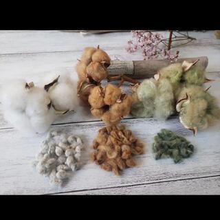 綿の実 種 コットン 種 綿花 白&茶&緑 3色(プランター)