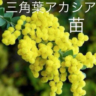 三角葉アカシア♡苗♡ミモザ♡甘い香り♩(ドライフラワー)