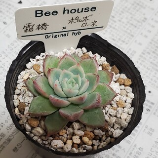 Beehouse エケベリア 霜椿×ポルボローネ(その他)