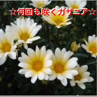 同梱特別価格‼️24☆初心者向け☆何回も咲く❣ガザニア☆丈夫☆挿し芽☆(プランター)