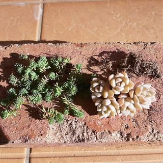 多肉植物 白牡丹 パリダム(その他)