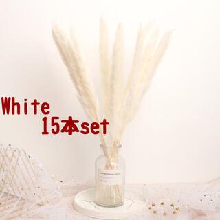 パンパスグラス 15本ドライフラワー テールリード ホワイト(ドライフラワー)
