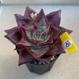 レッドスーパーコロン 多肉植物 カット苗 145(その他)
