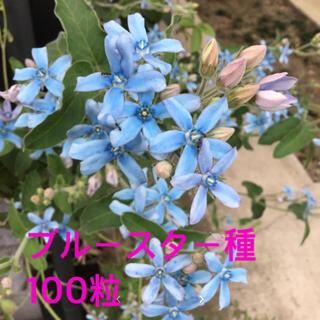 ブルースター 種 100粒超(その他)