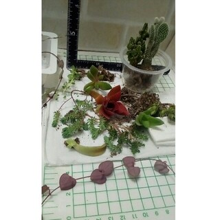 寄せ植え用多肉、観葉植物 根付き (セレウスサボテン、ハートカズラ等10種以上)(その他)
