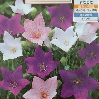 花の種      桔梗ミックス+アスター八重咲きミックス(その他)
